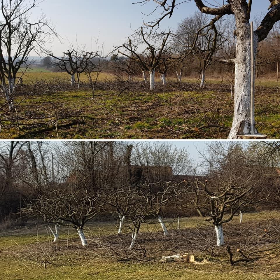 Uklanjanje opasnog stabla oraha uz vikendicu, orezivanje voćnjaka