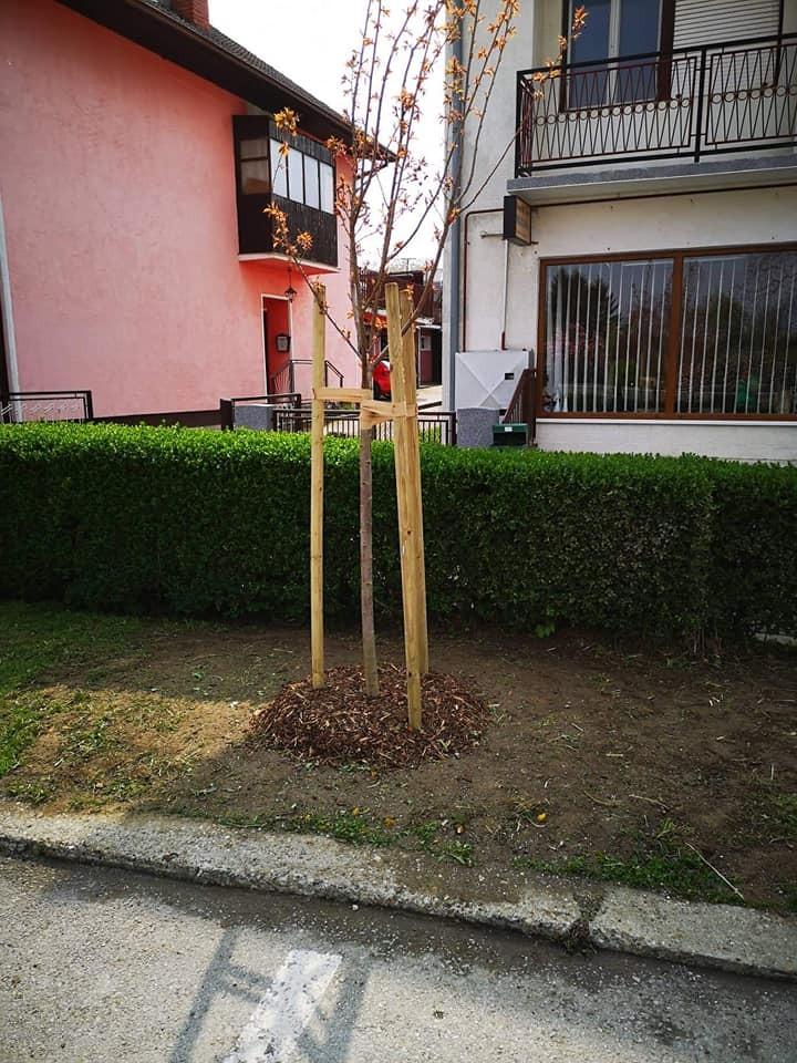 Sadnja stabala japanske trešnje