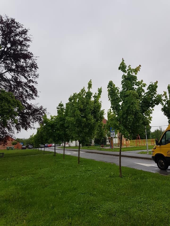 Friziranje stabala, mladi drvored javora