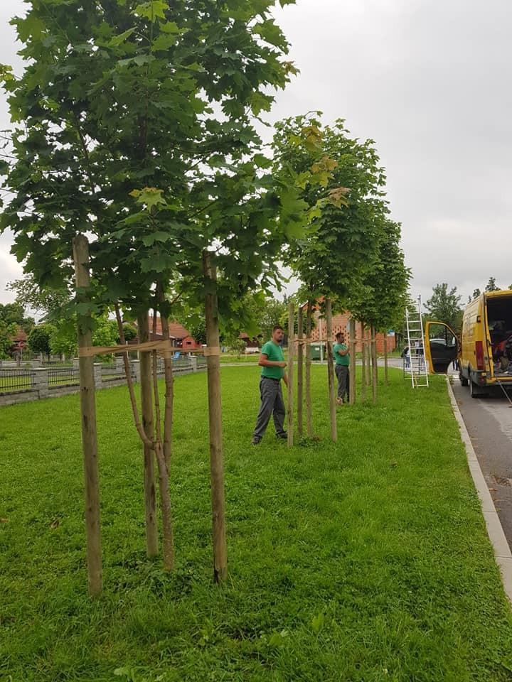 Sidrenje mladih drvorednih stabala