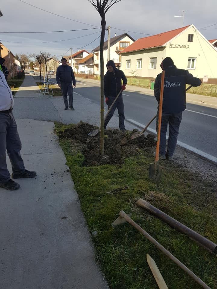 Orezivanje stabala ukrasnog bagrema u centru Dubrave