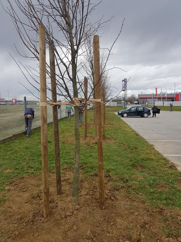 Sadnja drvoreda lipe visine 5 metara