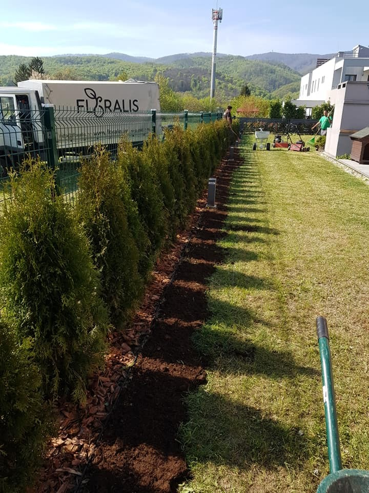 Sadnja žive ograde Photinia Red Robin