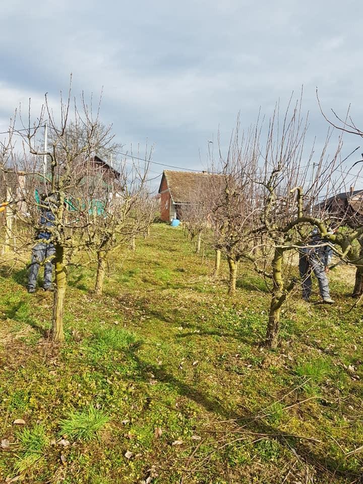 Orezivanje voćki i stabala, uređenje nasada